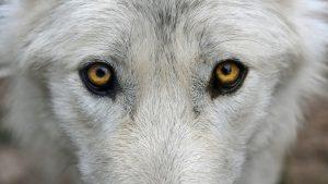 wolf-2782584_1280